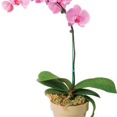 A mística natural de Orquídeas