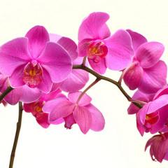Cuidar de orquídeas – Orquídeas Phaleanopsis