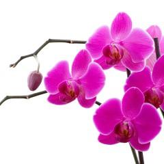 Como cultivar orquídeas em casa