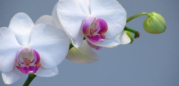 Orquídeas: aspectos importantes